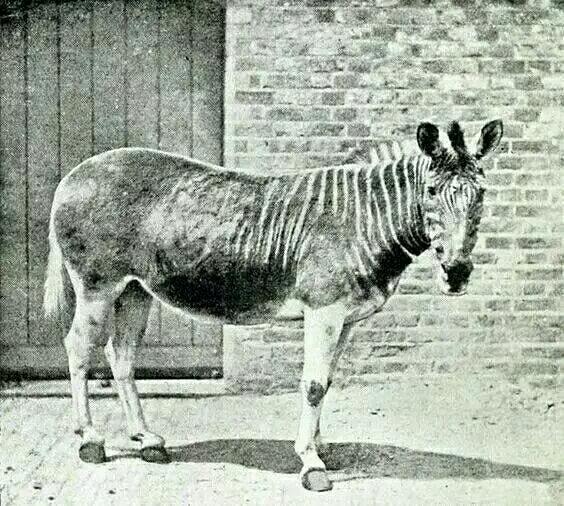 被人类吃成灭绝的动物这是它.
