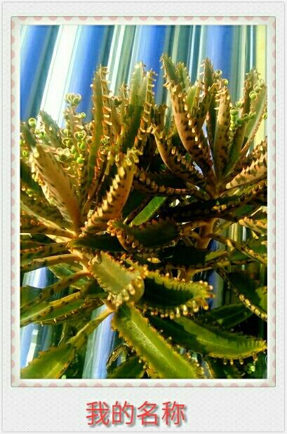 自然生命形式一景天科丨落地生根 天台生长丨无需管理
