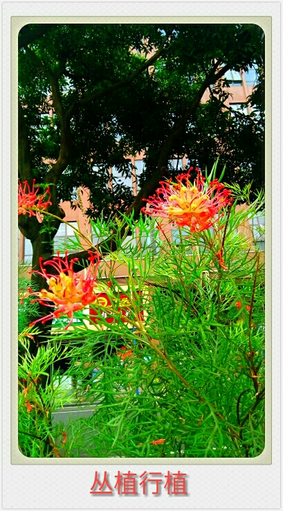 自然生命形式一山龙眼科丨红花银桦 树冠茂密丨美丽奇特