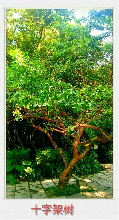 自然生命形式一十字架树 树茎生花丨花开奇特 来自广州兰圃
