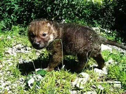 小时的真实素材 希望唤醒保护动物意识 李微漪在送小狼重回狼群之后