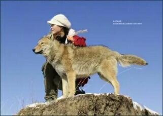 纪录片《重返 . 狼群》一个.图片