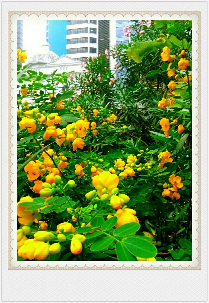 自然生命形式一豆科丨黄花决明 树生黄金丨勿要采摘