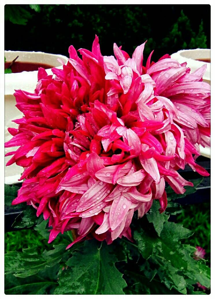 自然生命形式一美丽菊花 源自中国丨玩转世界 广州丨2017黄花文化节