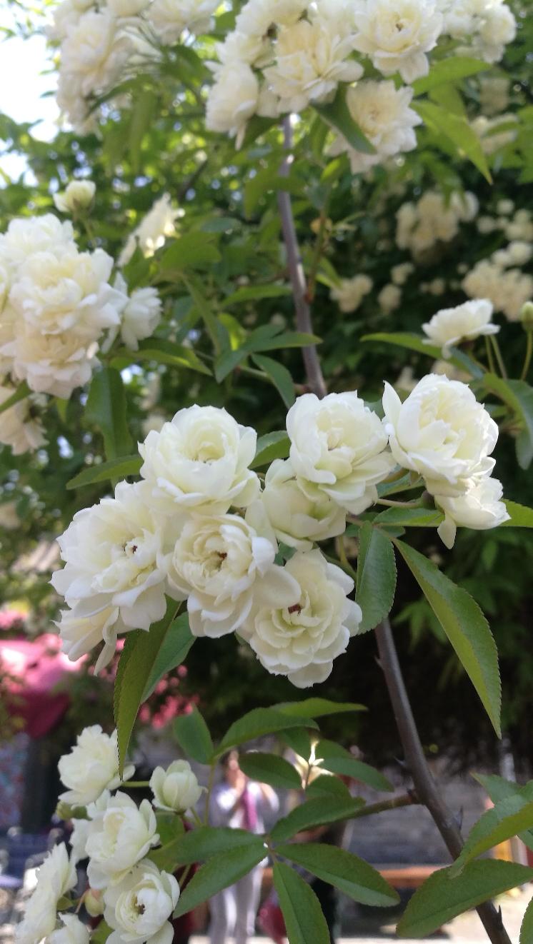 黄河北长江南花儿一样美