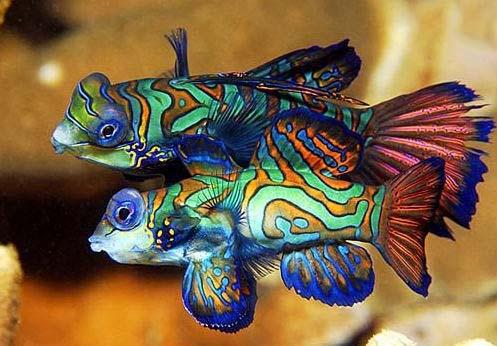 五彩青蛙鱼 观赏龙鱼