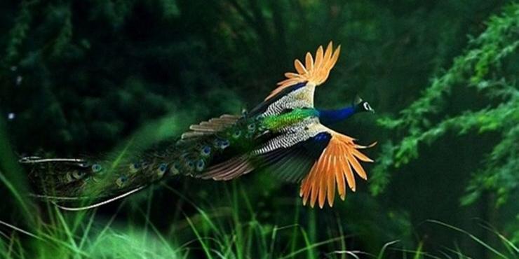 百年难遇的孔雀飞翔,美哭了!