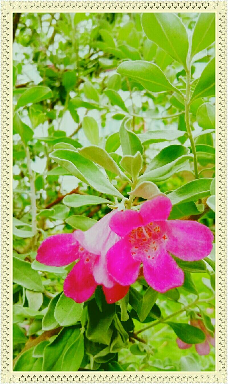 自然生命形式一玄参科。玉芙蓉