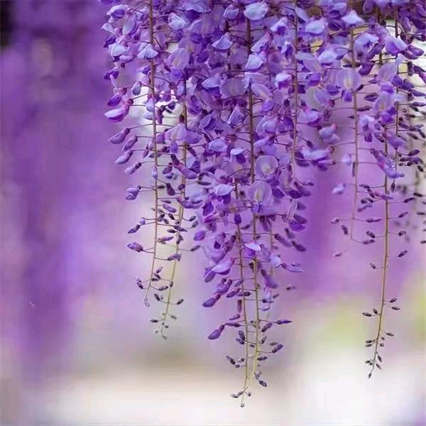 班得瑞《紫藤花开》  方彪丨葡萄紫太美了