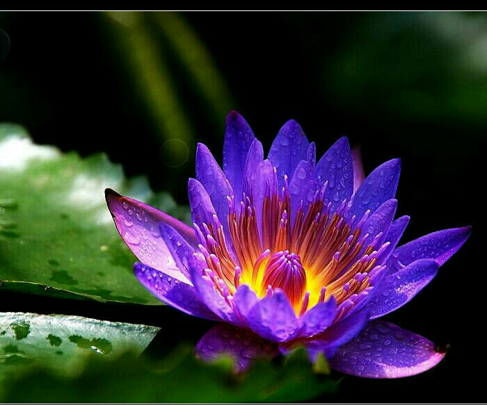 蓝莲花开在人间
