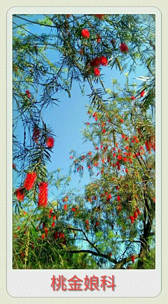 自然生命形式一串钱柳树 仪态万千丨动感优美丨