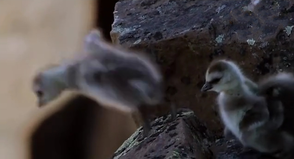 幼鸟跳下四百米高的悬崖才能生存 最悲壮最励志的微电影