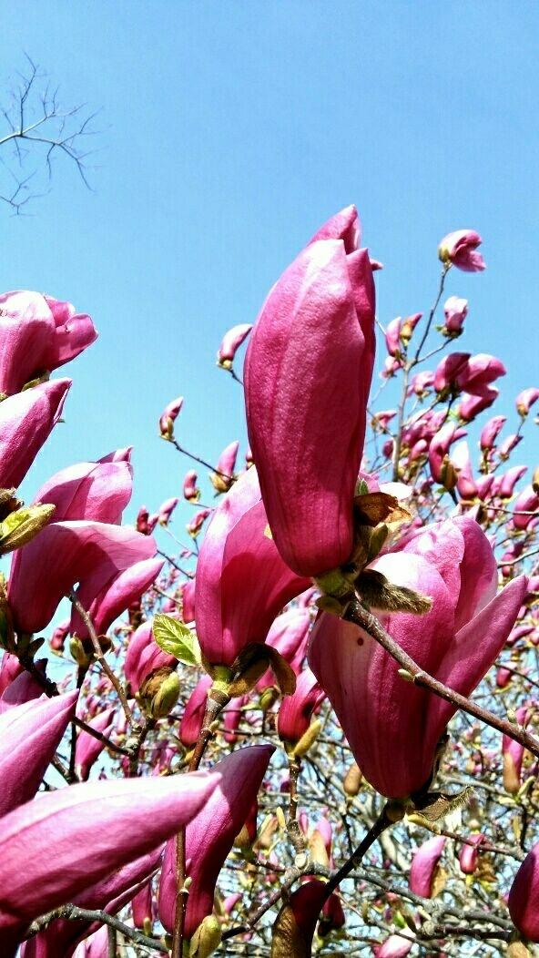 我家紫玉兰 花开庭满院