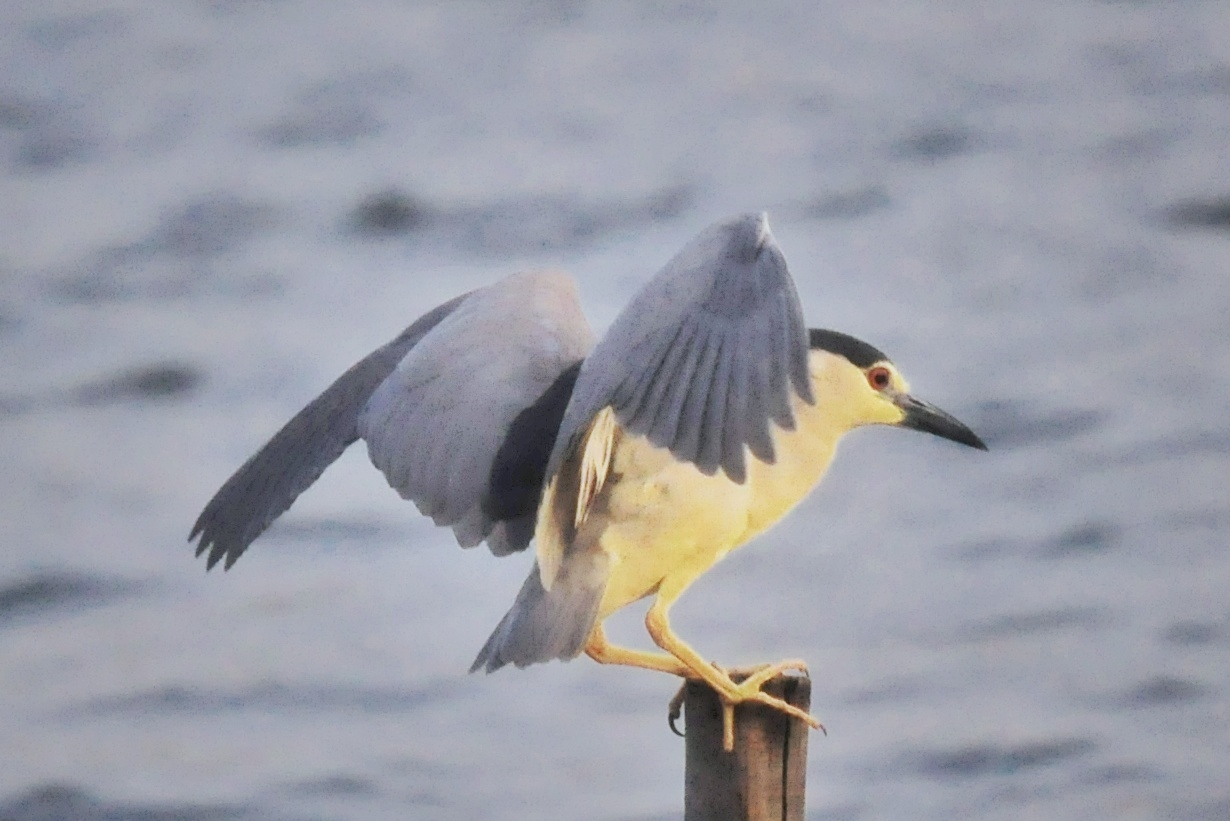 又见夜鹭!大明湖的夜鹭飞回来啦