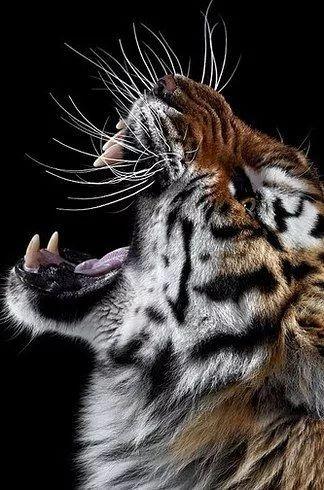 你绝对 没见过如此的猛虎