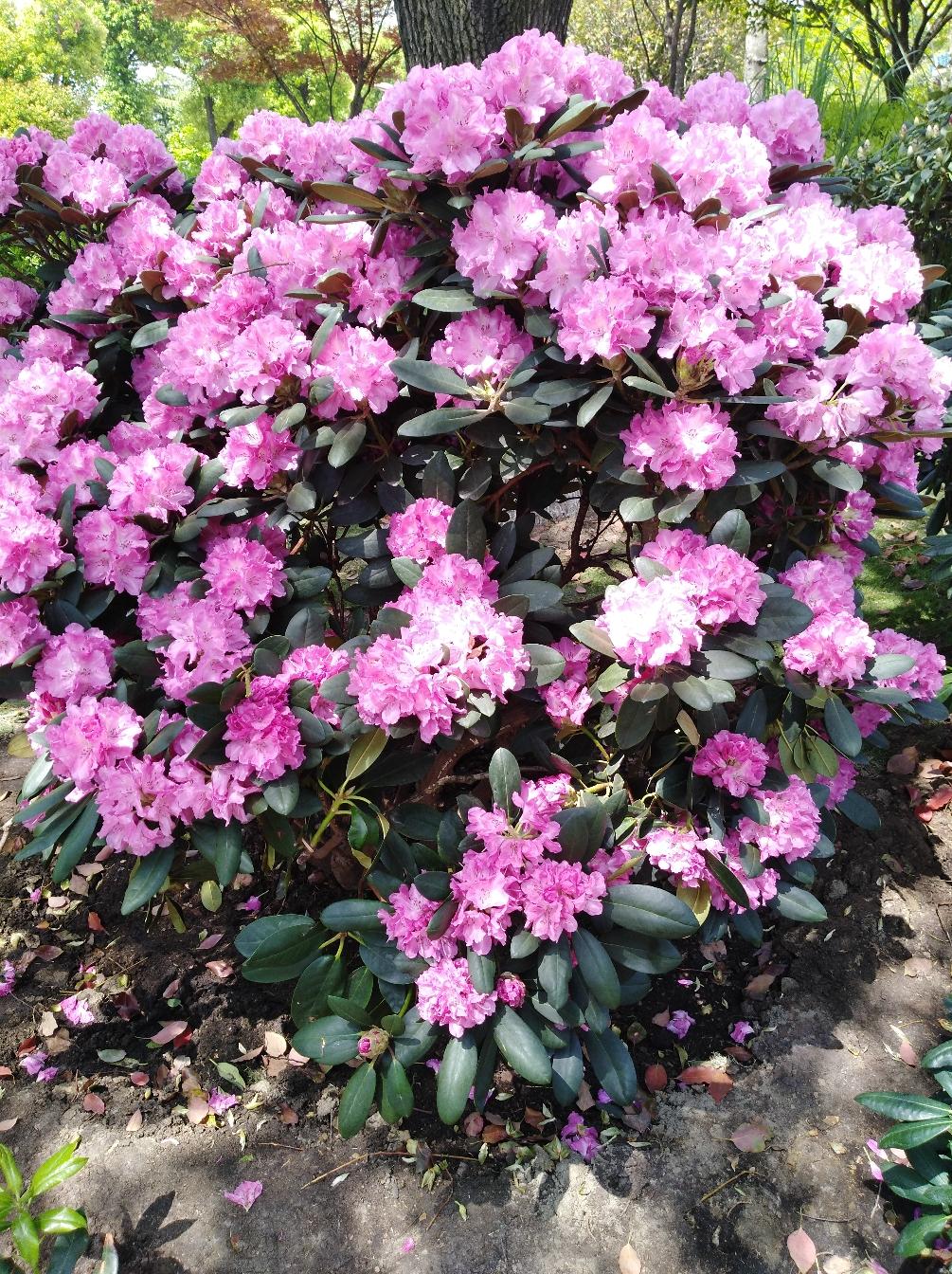 常州凤凰公园观杜鹃花