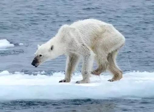 北极圈罕见32℃高温,北极熊或在40年内迎来灭绝