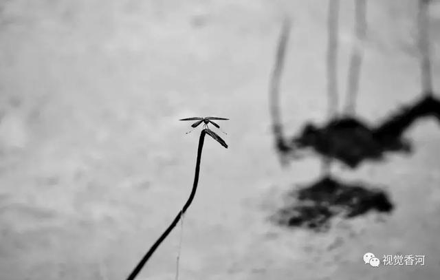 荷花 黑与白    诗与影