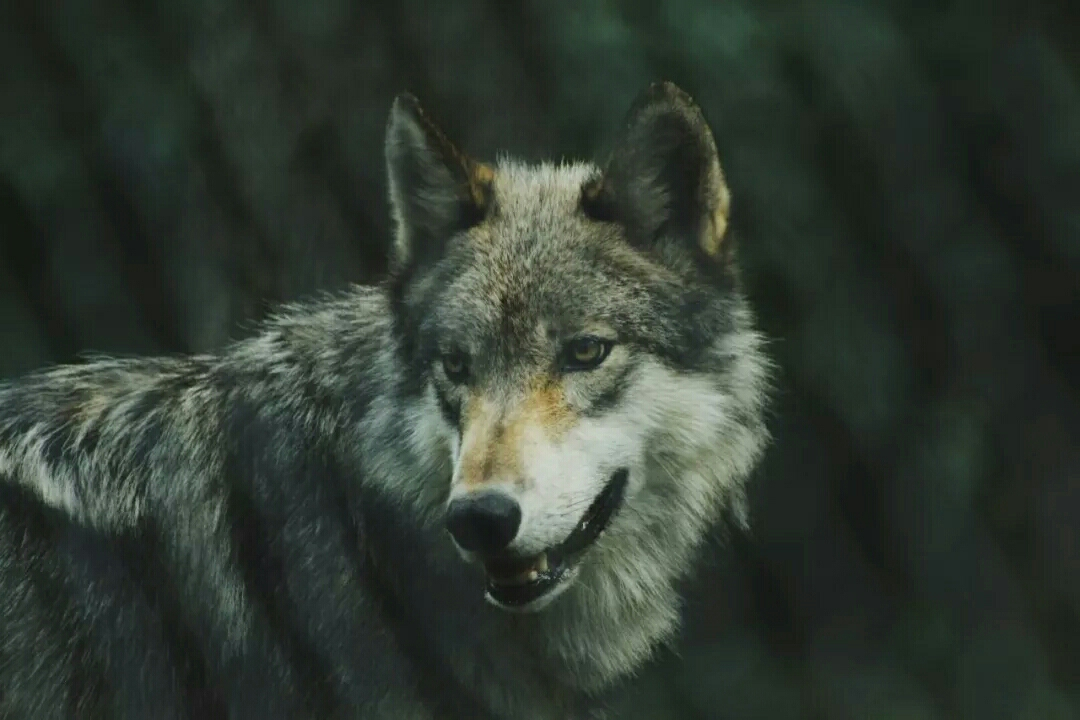 撞死在洞口的母狼!看哭了天下子女……